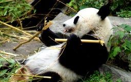吃在地面上的一个大熊猫的画象 库存照片