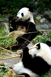 吃在地面上的一个大熊猫的画象 库存图片