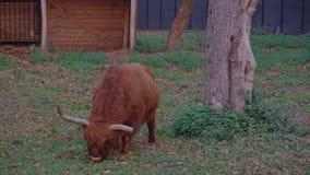 吃在地面上的动物高地牛或苏格兰cattleBos金牛座正面图叶子 股票录像