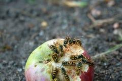 吃在地面上的黄蜂一个苹果 库存图片