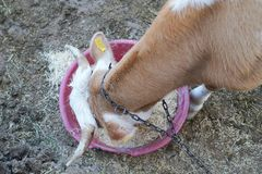 吃在塑料碗的一个棕色和白色母牛顶视图干草 库存图片