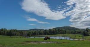 吃在夏天的公牛北美野牛 免版税库存图片