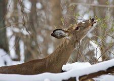 吃在多雪的森林里的一头野生鹿的美好的图象 免版税库存照片