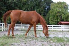 吃在大农场水平的图象的布朗马 免版税库存图片