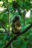 吃在大分支的灰鼠在中央公园在纽约 库存图片