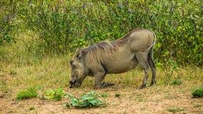 吃在大草原的warthog,肯尼亚 免版税图库摄影