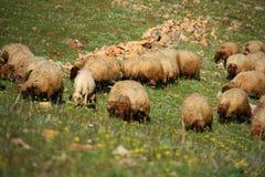 吃在小山的绵羊 库存图片