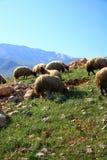 吃在小山的绵羊 免版税库存照片