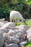 吃在小山的绵羊 免版税库存图片