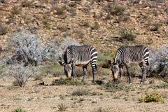 吃在山斑马的两匹斑马草 免版税库存照片