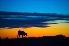 吃在山的母牛 免版税库存图片