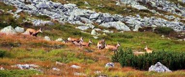 吃在山的野山羊牧群草 免版税库存照片