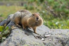 吃在岩石的北极地松鼠种子 堪察加 库存照片