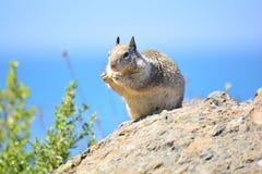 吃在岩石的有趣的啮齿目动物 免版税库存照片