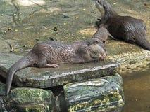 吃在岩石的湿水獭鱼在沼泽附近 免版税库存图片