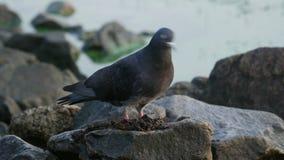 吃在岩石的鸽子在河附近 股票视频