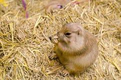 吃在干草草的逗人喜爱的草原土拨鼠草 库存照片