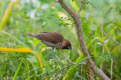 吃在旅馆的鳞状breasted munia种子在普吉岛 免版税库存照片