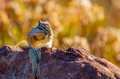 吃在早晨阳光下的一只逗人喜爱的花栗鼠 免版税图库摄影