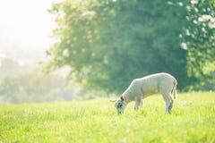 吃在春天领域的小的逗人喜爱的小羊羔一棵草由sunl点燃了 免版税库存照片