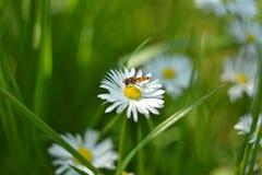 吃在春黄菊的飞行 免版税图库摄影