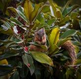 吃在木兰树的灰鼠种子 库存照片