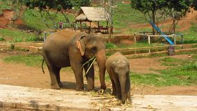 吃在村庄附近的大象和小牛 股票视频