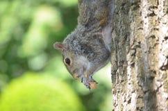 吃在树下的灰鼠一枚坚果Clmbing 库存图片