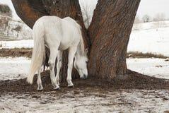 吃在树下的草的白马 免版税库存图片