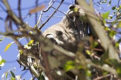 吃在树墨尔本澳大利亚的考拉玉树好 图库摄影