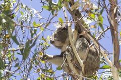 吃在树墨尔本澳大利亚的考拉玉树好 免版税图库摄影
