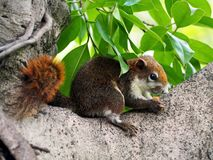 吃在树的一只小的布朗灰鼠花生 库存照片