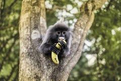 吃在树的也Colobinae灰色叶猴果子长尾的猴子 免版税库存照片