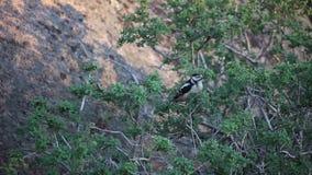 吃在树的啄木鸟果子 影视素材