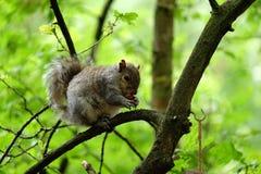 吃在树的灰鼠一枚坚果 图库摄影