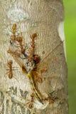 吃在树的红色蚂蚁的图象蜻蜓 敌意 免版税库存照片