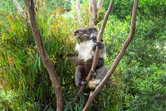 吃在树的考拉胶叶子 库存图片