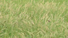 吃在树的鸟秀丽稻摇动由在米领域的风 股票录像