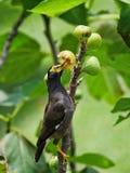 吃在树的黑鸟果子 免版税库存照片