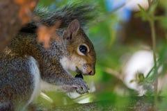 灰色灰鼠(中型松鼠carlinensis) 免版税库存图片