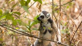 吃在棕色森林背景的狐猴叶子 免版税库存图片