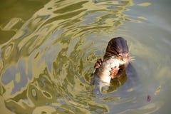 吃在水的海狮鱼 免版税图库摄影