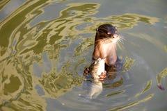 吃在水的海狮鱼 免版税库存照片