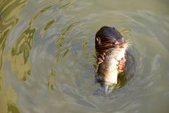 吃在水的海狮鱼 库存照片
