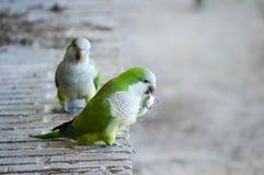 吃在池塘的银行的两只长尾小鹦鹉的照片 免版税库存照片