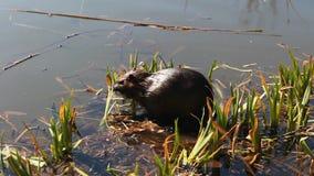 吃在池塘的Nutria芦苇