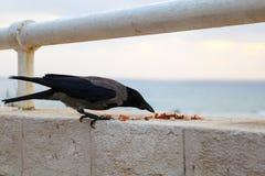 吃在海滨的黑和灰色掠夺食物 库存图片