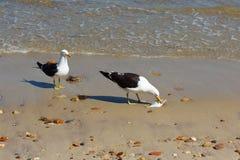 吃在海滩的海鸥鱼在海,其他海鸥看附近 免版税库存图片