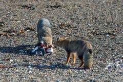 吃在海滩的灰狐狸一只企鹅 免版税库存图片