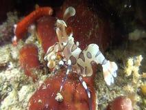 吃在王侯Ampat印度尼西亚的丑角虾海星 股票录像